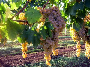 Reg's wine blog photo Malvasia grapes